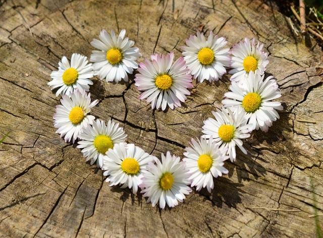 daisy-heart-flowers-flower-heart